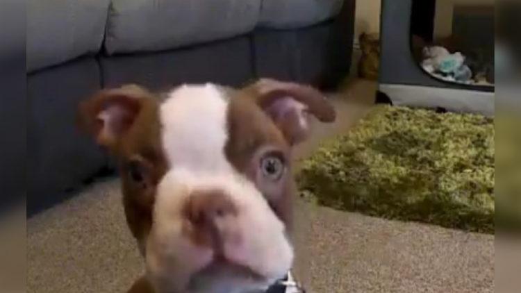 """Fofura: """"Dono"""" instala câmera para flagrar cachorro, mas é surpreendido/ Imagem: Reprodução internet"""