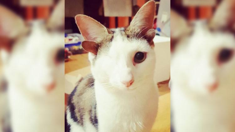 Gatinho de quatro orelhas pego com infecção sofre tratamento de amor/ Imagem: Reprodução Hypeness